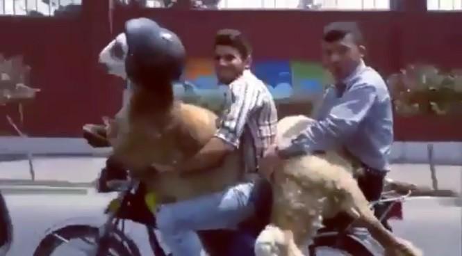 Dbaj o swoje owce - zakładaj im kask na czas jazdy motocyklem!