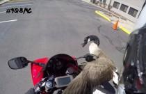 Gęś vs. motocyklista - codzienne starcia bikera z naturą